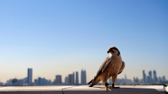 Falcons Soar High in Emirati Skies
