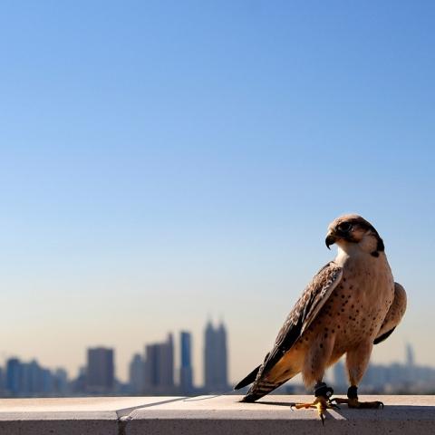 Photo: Falcons Soar High in Emirati Skies