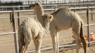 Camel Milk in London and Paris