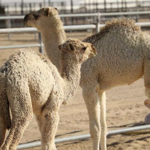 Photo: Camel Milk in London and Paris
