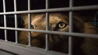 حظر تربية الحيوانات المفترسة