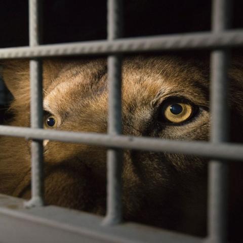 صور: حظر تربية الحيوانات المفترسة