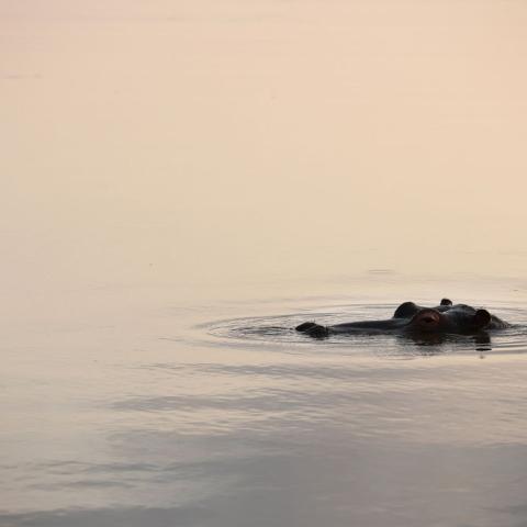 صور: أفراس نهر في الظفرة