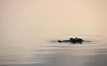 Hippopotamus in Al Dhafra