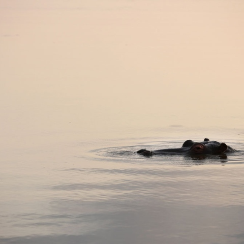 Photo: Hippopotamus in Al Dhafra