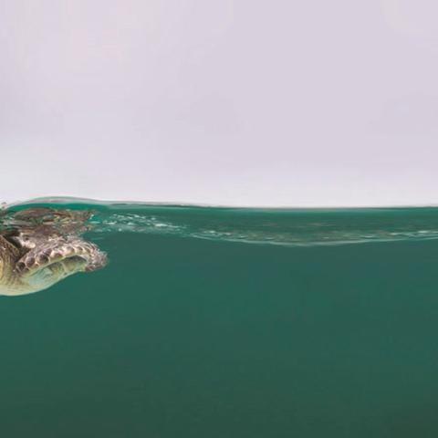 صور: إطلاق 40 سلحفاة في مياه دبي