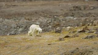 عشنا في عصر الدب القطبي!