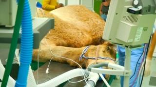 صور: مستشفى للجِمال في دبي