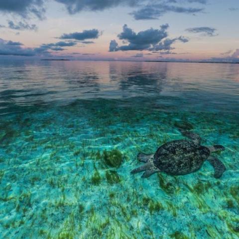 ${rs.image.photo} الأنوثة تطغى على السلاحف البحرية
