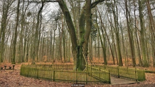 شجرة تمنح العشّاق أملاً بالزواج