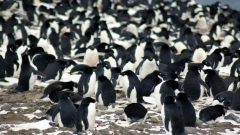 A colony of 1.5 million penguins