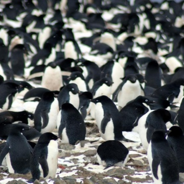Photo: A colony of 1.5 million penguins