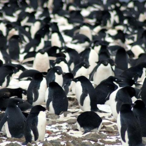 Photo: A colony of 1.5 million penguins