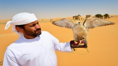 Why Emiratis love falcons?