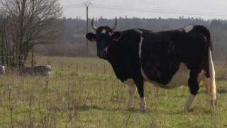 """البقرة """"فين"""" ملكة معرض باريس الغذائي 2017"""