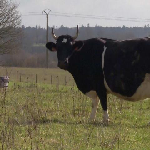 """صور: البقرة """"فين"""" ملكة معرض باريس الغذائي 2017"""