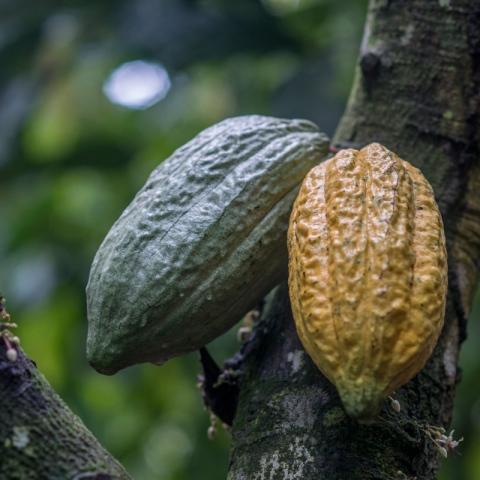 صور: رحلة الشوكولاتة من ثمرة الكاكاو إلى الأسواق
