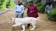 Big cats of Instagram: Pakistani elite's love of exotic wildlife