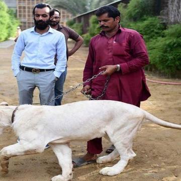 Photo: Big cats of Instagram: Pakistani elite's love of exotic wildlife