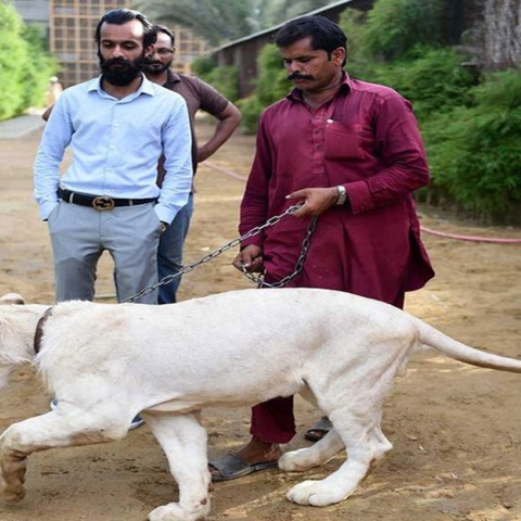 Photo: Big cats of Instagram: Pakistani elite's love of exotic wildlife