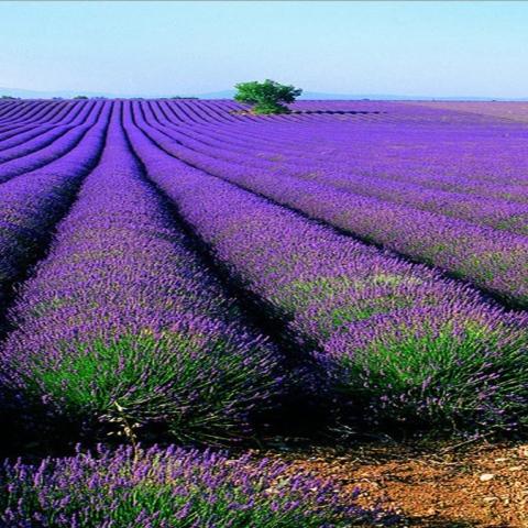 صور: حقول اللافندر.. وجهة سياحية في إسبانيا
