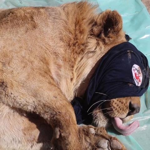 صور: إنقاذ سيمبا ولولا