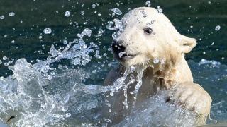 Polar Bear Cub's Day Out