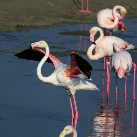Photo: Dubai's Flamingos Take Flight