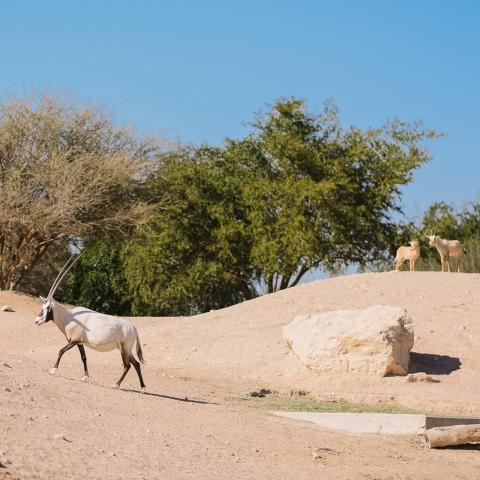 صور: محمية دبي الصحراوية.. تجربة سياحية مذهلة في قلب الصحراء