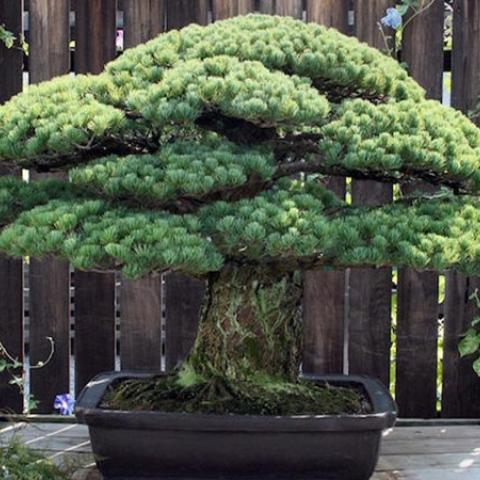 صور: شجرة نجت من قنبلة هيروشيما ويبلغ عمرها 395 عامًا