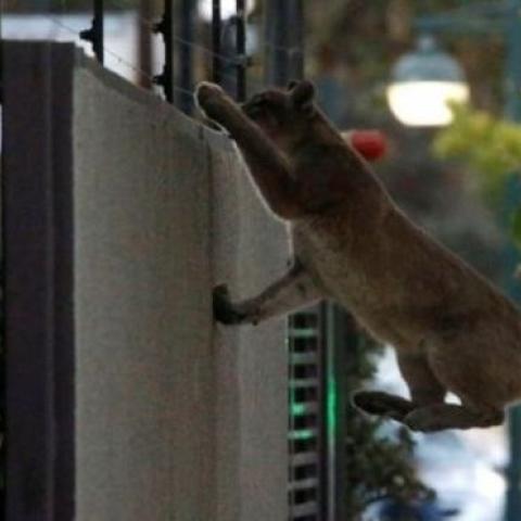 صور: حيوانات مفترسة تجول شوارع العاصمة التشيلية سانتياغو بحثاً عن الغذاء