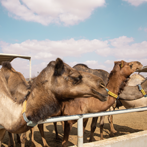Photo: Al Ain Farms: Abundant production around the clock