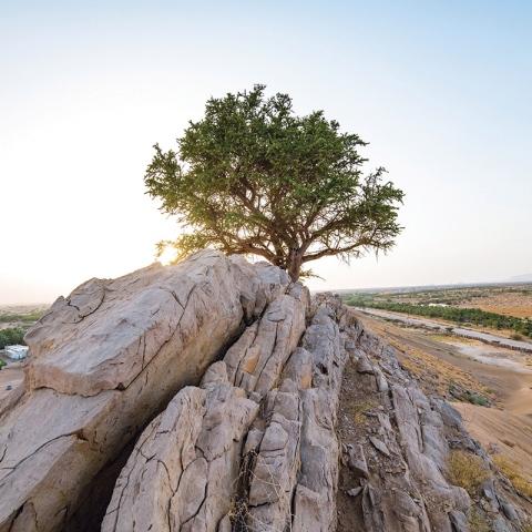 """صور: شجرة """"سرح"""" ذات الـ 100 عام في أبوظبي"""
