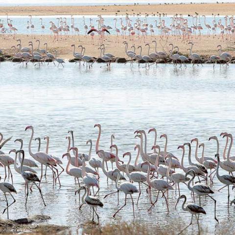 صور: موسم استثنائي للفلامنجو في الإمارات