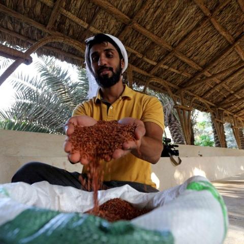صور: الأرز الحساوي الأحمر: ذهب تتوارثه الأجيال