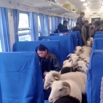 صور: في كوكب الصين: مجموعة من المواشي تشارك الركاب في قطار و تتجول بحرية دون إزعاج الركب!