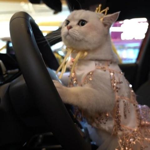"""صور: القطة الصينية """"ماو ماو"""".. عارضة محترفة تكسب حوالي 5500 درهم إماراتي في الإعلان الواحد!"""