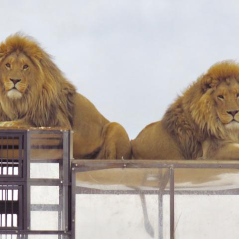 صور: محمية حيوانات بجنوب إفريقيا تضع زوارها في الأقفاص والأسود طلقاء!